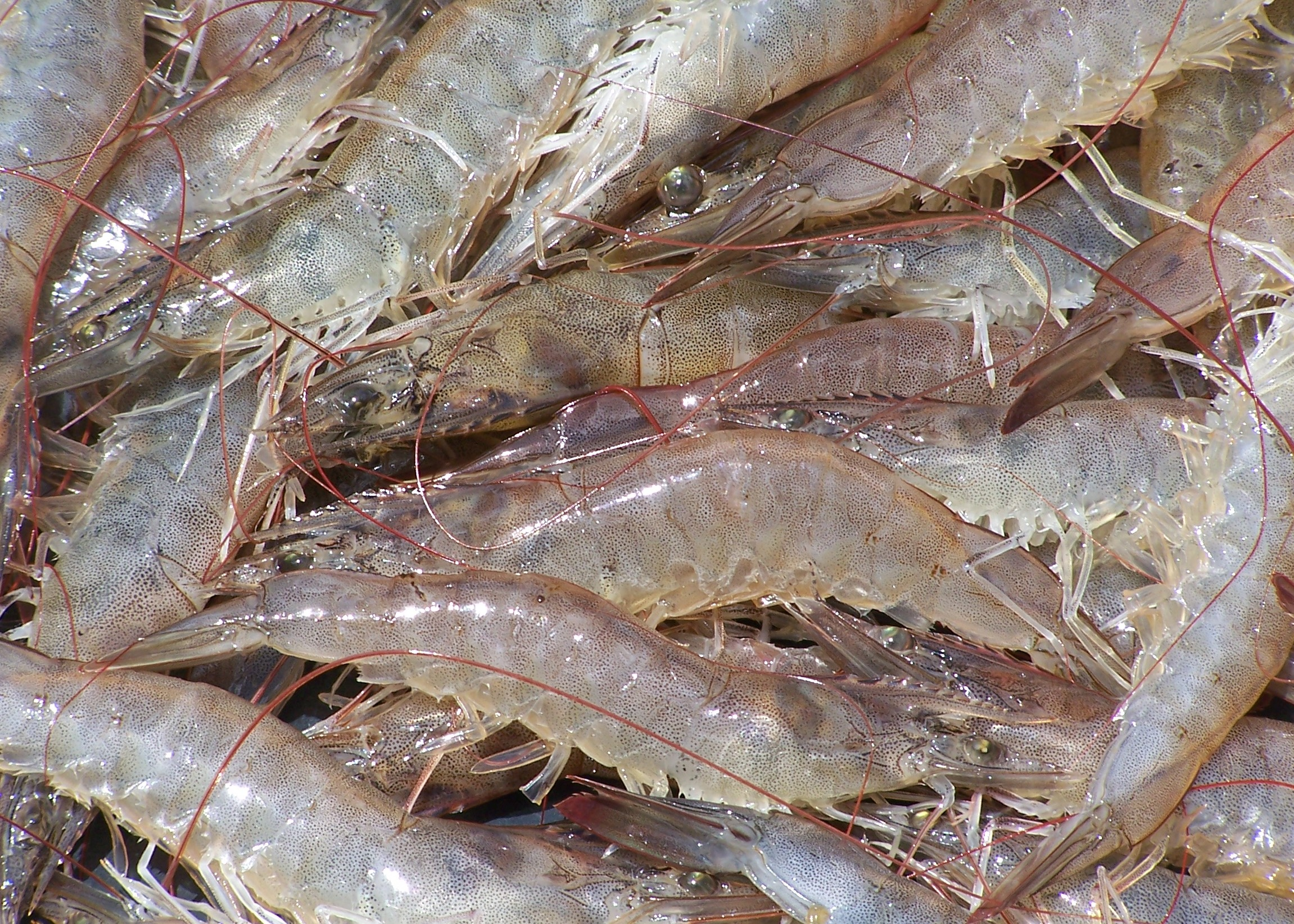 mature-shrimp-21